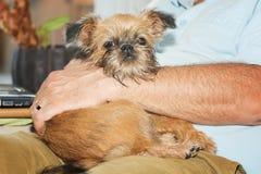 Het puppy Brusselse Griffon ligt opgetogen op haar chef- overlapping van ` s Royalty-vrije Stock Afbeelding