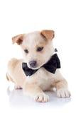 Het puppy dat een lint draagt bij het is hals Stock Foto