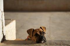Het puppy dat van de bokser droevig of eenzaam kijkt Stock Afbeeldingen