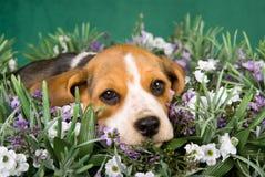 Het puppy dat van de brak in gebied van lavendel ligt Stock Fotografie