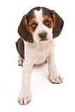 Het Puppy dat van de Mengeling van de brak vooruit eruit ziet stock foto