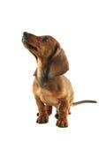 Het puppy dat van de tekkel omhoog eruit ziet Royalty-vrije Stock Afbeeldingen