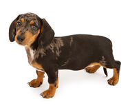 Het Puppy dat van de tekkel vooruit eruit ziet Royalty-vrije Stock Fotografie