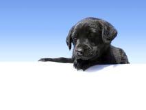 Het puppy dat van het laboratorium neer eruit ziet royalty-vrije stock foto's