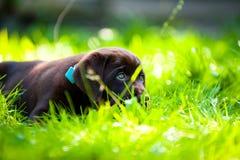 Het puppy dat van Labrador in zon en gras ligt Royalty-vrije Stock Foto's