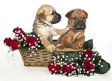 Het Puppy dat van pei van Shar aan Zijn Vriend luistert niet Stock Afbeeldingen