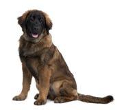 Het puppy, de zitting en het hijgen van Leonberger Stock Afbeelding