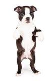 Het Puppy die van Boston Terrier op Hind Legs dansen Royalty-vrije Stock Foto's