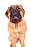 Het puppy die van Bullmastiff luid ontschorsen stock afbeelding