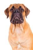 Het puppy die van Bullmastiff luid ontschorsen royalty-vrije stock afbeelding