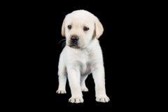 Het puppy die van Labrador en kijkt droevig in studio bevinden zich Royalty-vrije Stock Foto