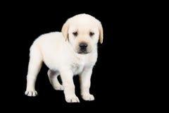 Het puppy die van Labrador en kijkt droevig in studio bevinden zich Royalty-vrije Stock Afbeelding