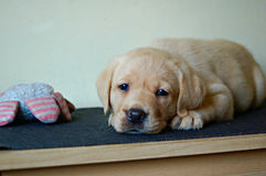Het puppy die van Labrador met samendrukkingsstuk speelgoed bepalen Stock Afbeeldingen
