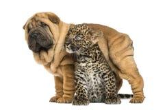 Het puppy die van Sharpei zich over een bevlekte Luipaardwelp bevinden Stock Afbeeldingen
