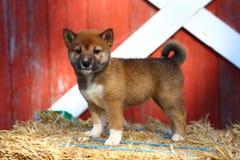Het puppy die van Shibainu zich op hooibaal bevinden stock afbeeldingen