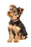 Het Puppy die van Yorkshire Terrier aan Kant zitten royalty-vrije stock foto's