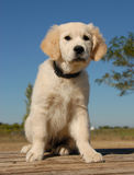 Het puppy gouden retriever van de zitting Royalty-vrije Stock Afbeeldingen