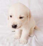 Het puppy grijnst Stock Foto