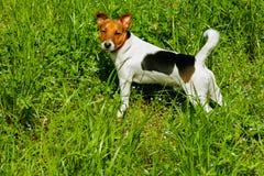 Het puppy Jack russel vond huisdier stock afbeeldingen