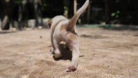 Het puppy jeukt zich wegens bontparasiet zoals vlo en gaat dan weg stock video
