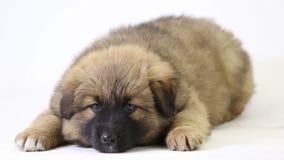 Het puppy ligt bruin stock footage
