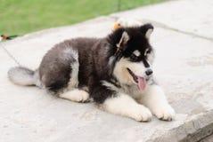 Het puppy Malamute van Alaska Stock Foto's