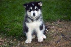 Het puppy Malamute van Alaska Royalty-vrije Stock Foto