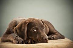 Het puppy met medelijden ziet eruit Stock Foto's