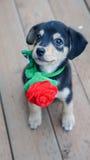 Het puppy met Rood nam toe Stock Fotografie