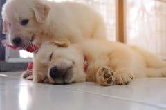 Het puppy ontspant Stock Afbeeldingen