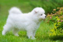Het puppy ruikende bloem van de Samoyedhond Stock Fotografie