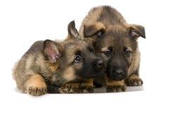 Het puppy `s van Duitse herders Stock Foto