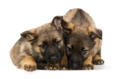 Het puppy `s van Duitse herders Stock Afbeeldingen