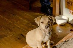 Het puppy staart bij camera Stock Afbeeldingen