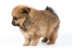 Het puppy in studio stock afbeeldingen