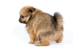 Het puppy in studio stock fotografie