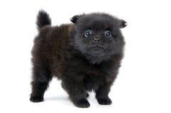Het puppy in studio royalty-vrije stock foto