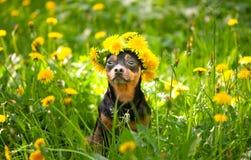 Het puppy van Ð ¡ Ute, een hond in een kroon van de lente bloeit op het bloeien