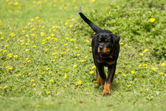 Het puppy van babyrottweiler Royalty-vrije Stock Foto's