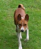 Het puppy van Basenji royalty-vrije stock afbeeldingen