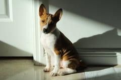 Het puppy van Basenji Stock Afbeelding