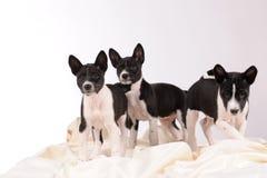 Het puppy van Basenjihonden royalty-vrije stock afbeeldingen