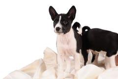 Het puppy van Basenjihonden stock foto's