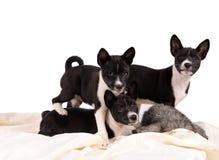Het puppy van Basenjihonden royalty-vrije stock foto's