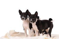 Het puppy van Basenjihonden stock foto