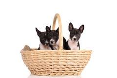 Het puppy van Basenjihonden in de mand Stock Foto