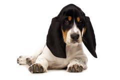Het Puppy van Basset Hound op een Witte Achtergrond royalty-vrije stock fotografie