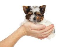 Het puppy van Bieweryork ter beschikking Stock Foto's