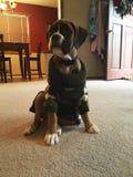 Het Puppy van het bokserras Stock Foto's