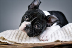 Het Puppy van Boston Terrier Royalty-vrije Stock Foto